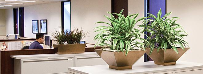 上海 金荷/上海植物租赁、办公室绿化专家