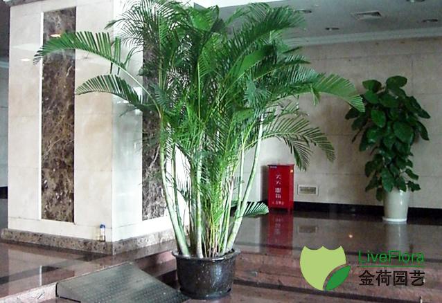 办公室盆栽植物_东方电视台大堂绿化植物租赁养护和布置_成功案例_上海金荷园艺站