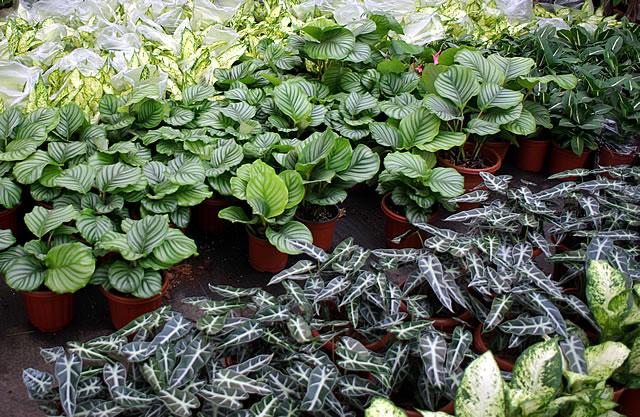 彩色植物,花纹植物,上海市浦东苗圃基地
