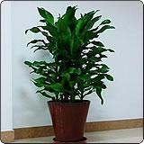 螺纹铁(菲律宾铁树,卷叶铁、扭纹铁)