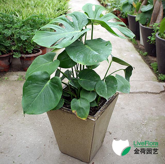 龟背竹 蓬莱蕉、铁丝兰(1)
