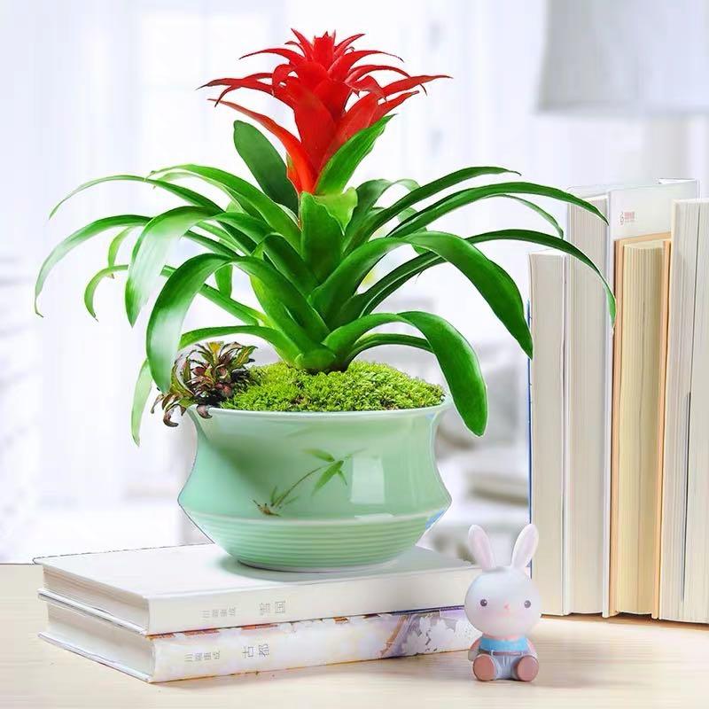 吉星高照(红色)(凤梨花、菠萝花)