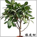 中型橡皮树(印度榕、红缅树)