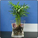 水培袖珍椰子(矮生椰子、袖珍棕)