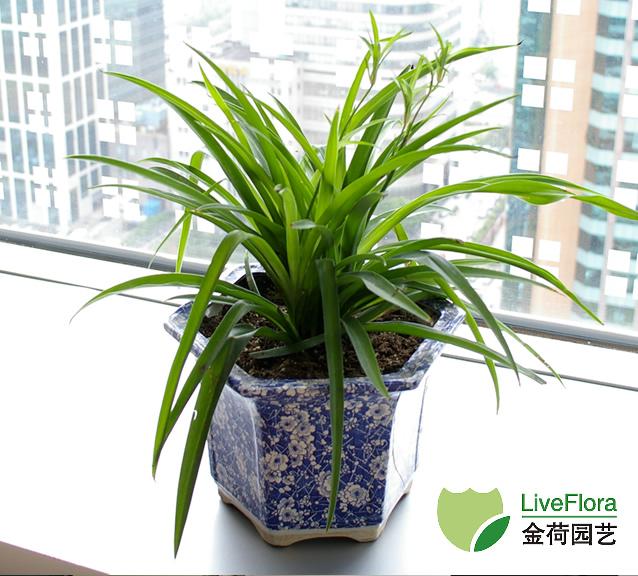 上海青叶吊兰-垂盆草,桂兰植物租赁养护出租布置