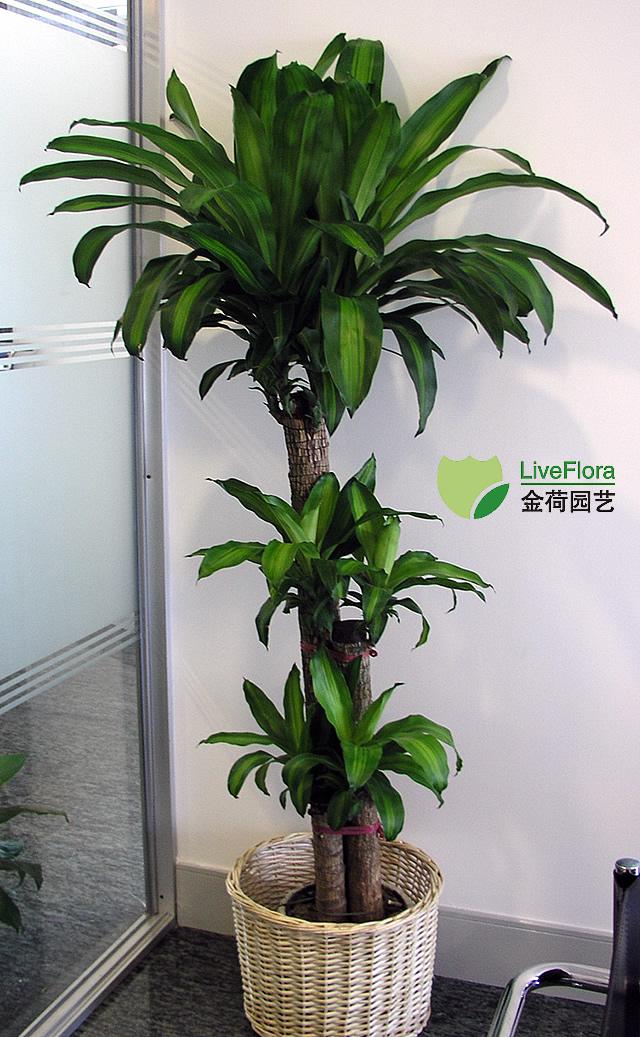巴西木 香龙血树(1)