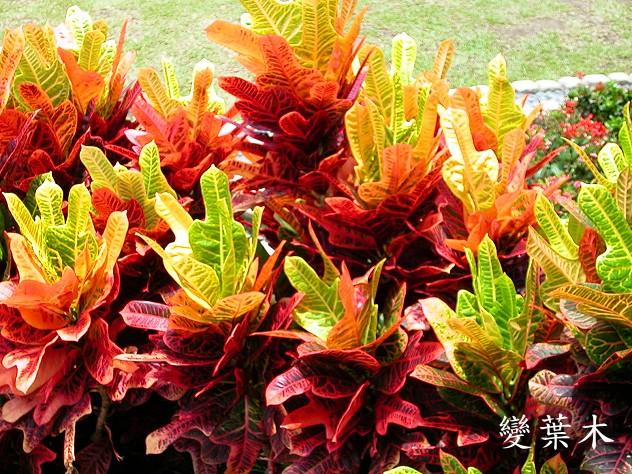 植办公室_上海琴叶变叶木-变叶木、洒金榕植物租赁养护出租布置_上海金荷