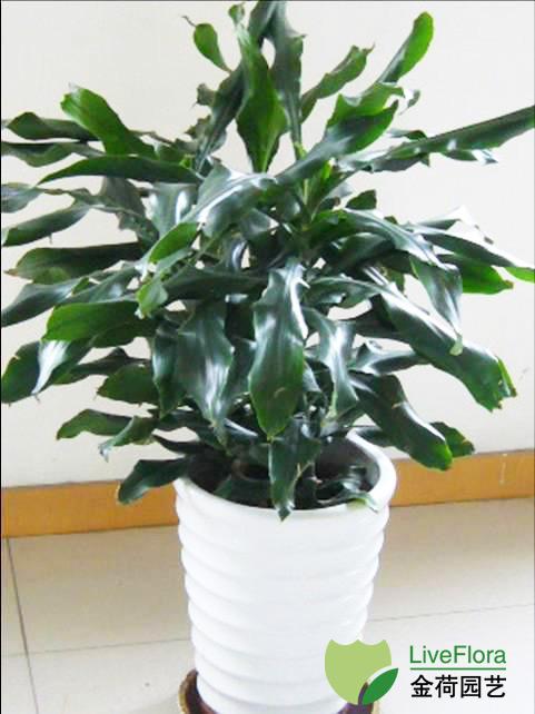 中型螺纹铁 菲律宾铁树,卷叶铁、扭纹铁(1)