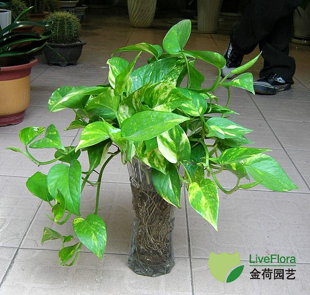 吊绿萝水培 黄金戈水培(1)