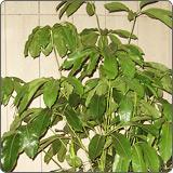 多杆摇钱树(澳洲鸭脚木、鹅掌柴、大叶伞树、昆石兰遮树)