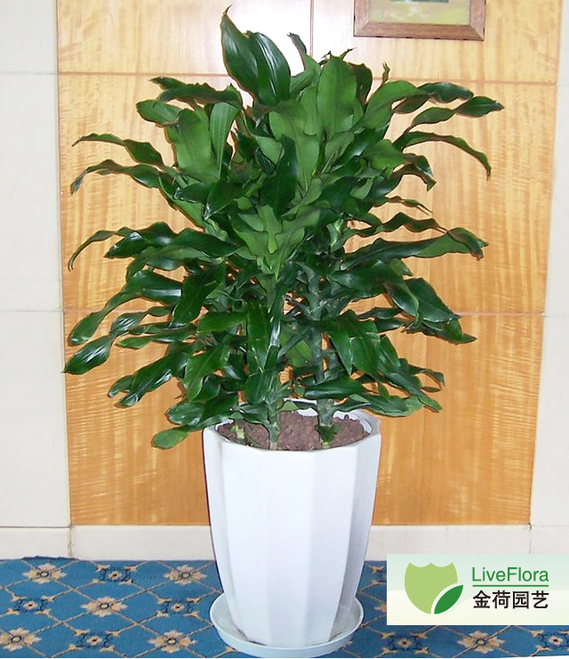 螺纹铁 菲律宾铁树,卷叶铁、扭纹铁(1)