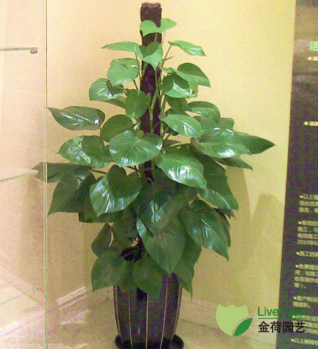 绿萝 黄金葛(2)