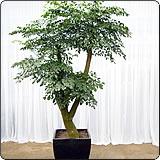 多杆幸福树(菜豆树)