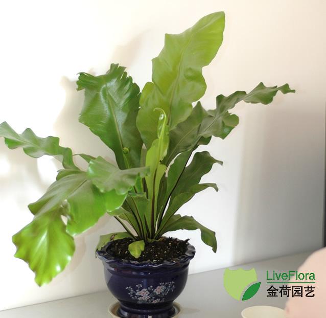 鸟巢蕨 巢蕨、山苏花(1)
