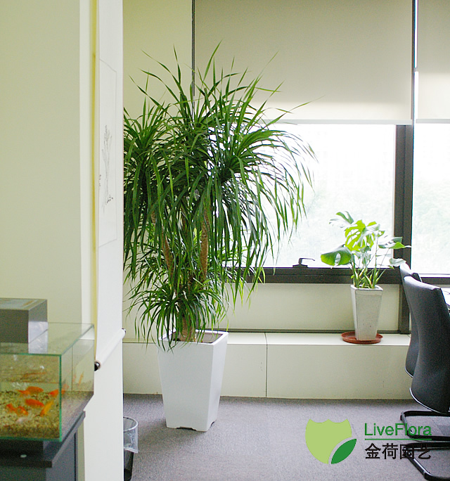 写字楼办公室总裁办绿化效果图(7)_绿植租赁养护_上海金荷园艺;