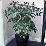 绿宝(幸福树,菜豆树)