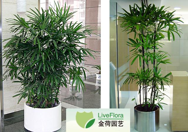 棕竹 观音竹、筋头竹(1)
