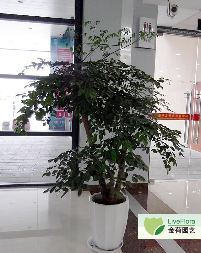 多杆幸福树 菜豆树(1)