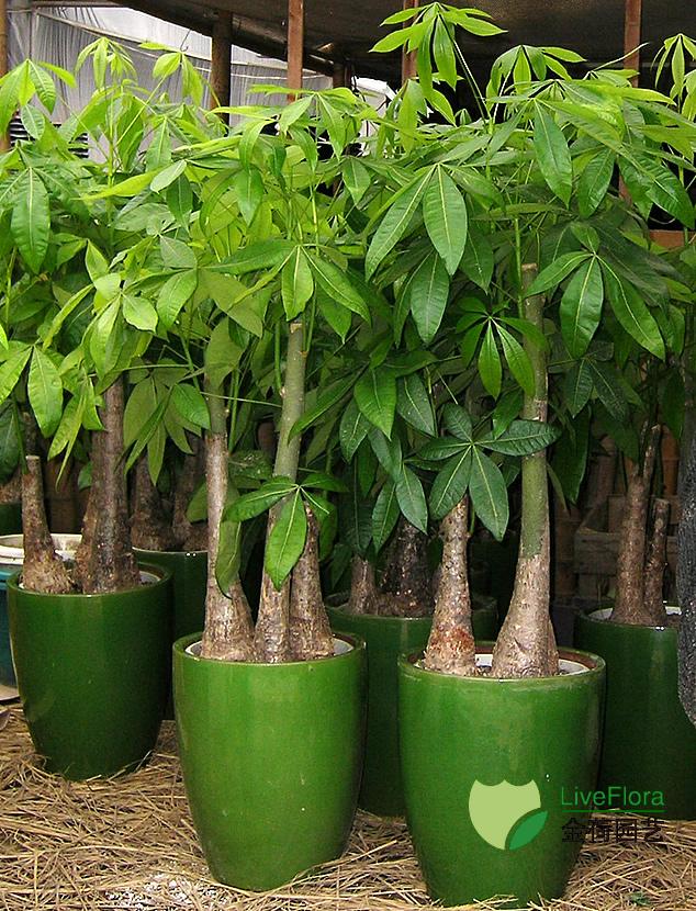 三杆发财树 多杆发财树(1)