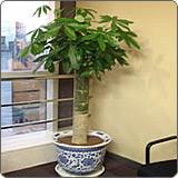 单杆发财树(瓜栗、中美木棉、鹅掌钱)
