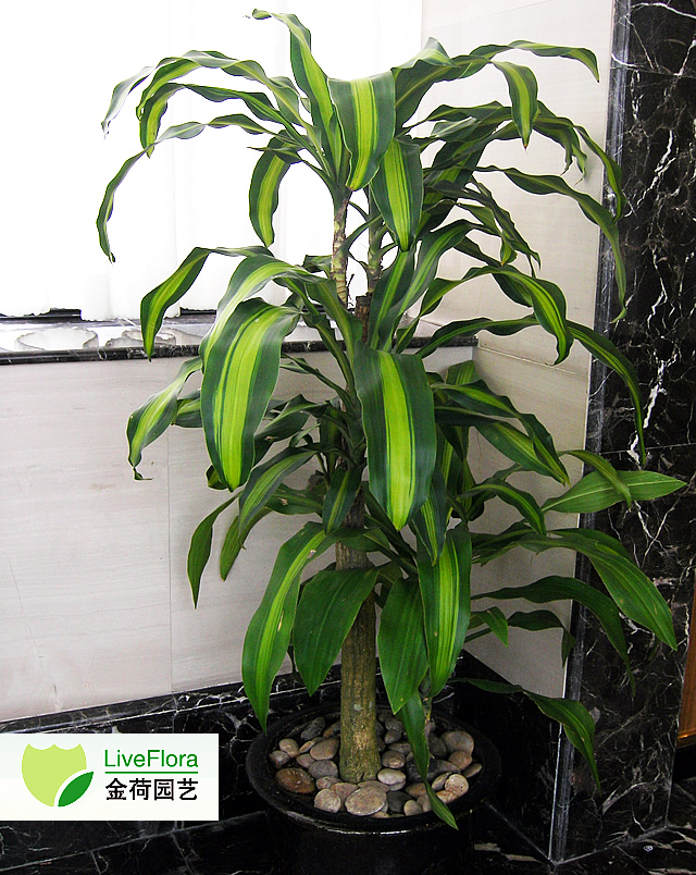 巴西铁 香龙血树、龙血树(2)