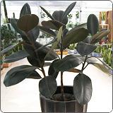 小型橡皮树(印度榕、红缅树)