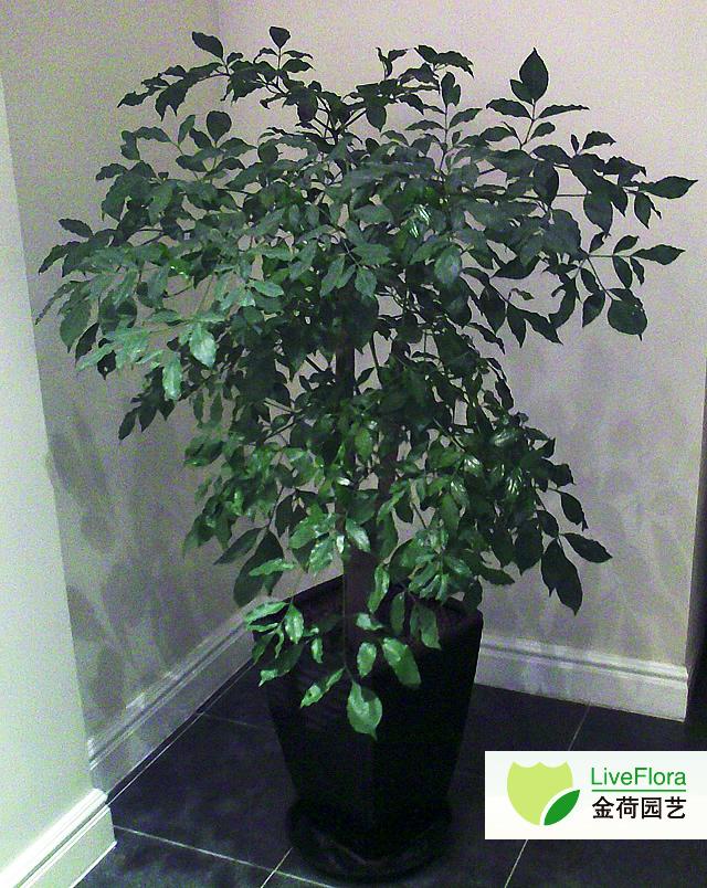 绿宝 幸福树,菜豆树(2)