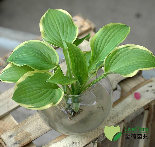 玉簪 白鹤花(1)
