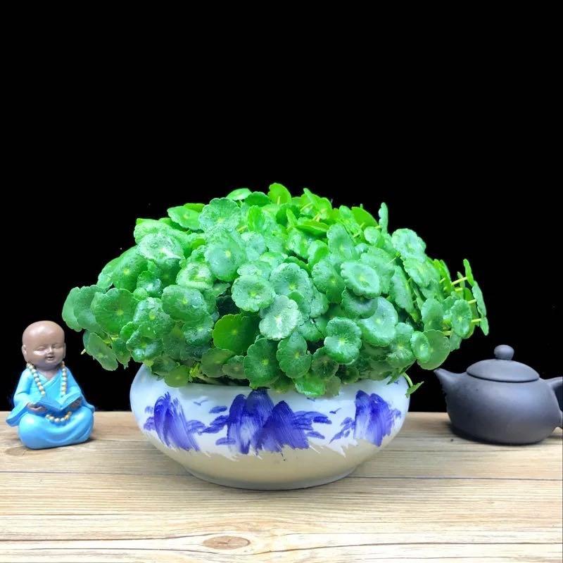 铜钱草(金钱莲、水金钱、香菇草)