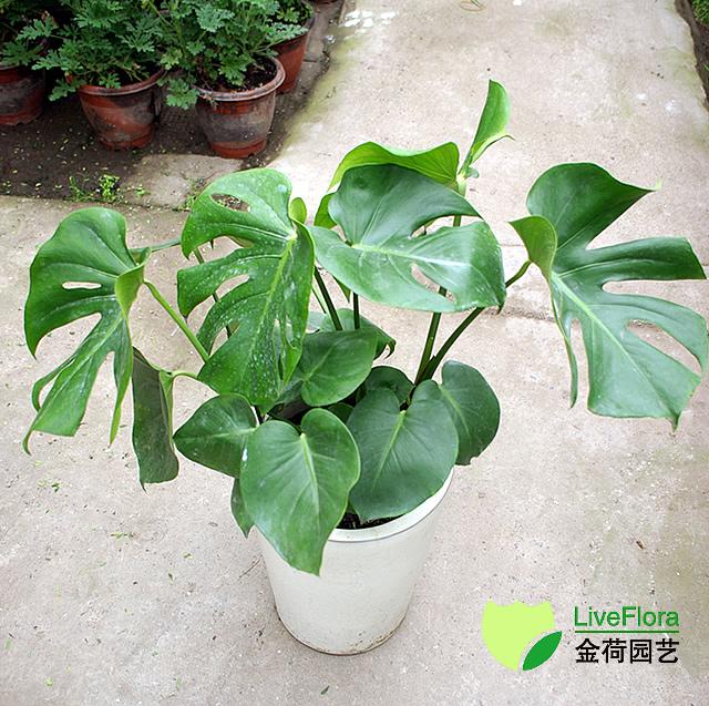 龟背竹 蓬莱蕉、铁丝兰(2)