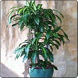 巴西铁(香龙血树、龙血树)
