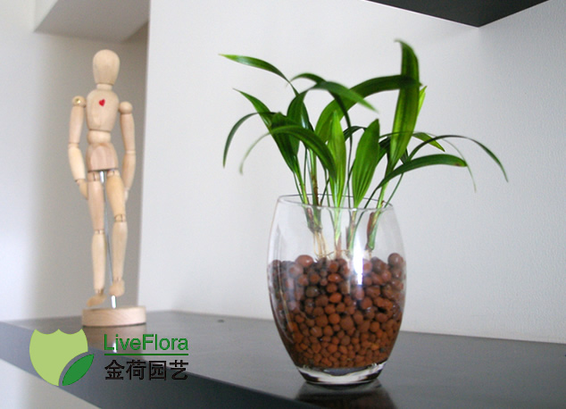小棕竹(水培) 观音竹、筋头竹(1)