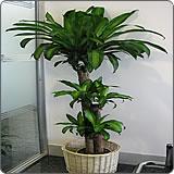 巴西木(香龙血树)