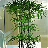 棕竹(观音竹、筋头竹)