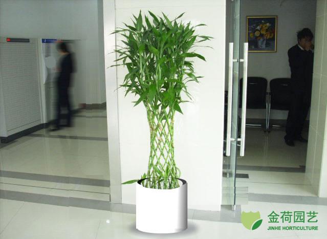 富贵竹笼 万年竹(1)