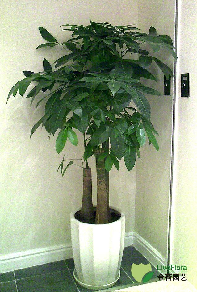 三杆发财树 多杆发财树(2)
