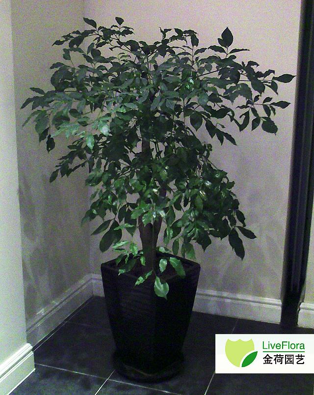 绿宝 幸福树,菜豆树(1)