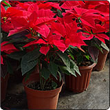 圣诞红(一品红、圣诞花)