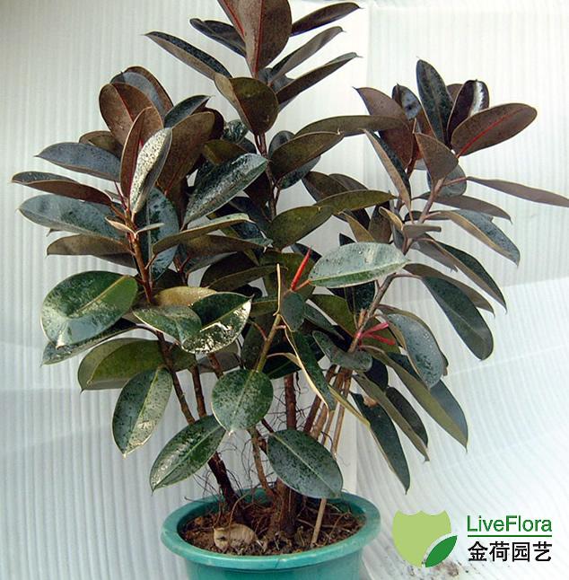 中型橡皮树 印度榕、红缅树(1)