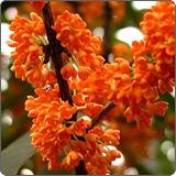 桂花树(木犀、木樨、岩桂、九里香、金粟)